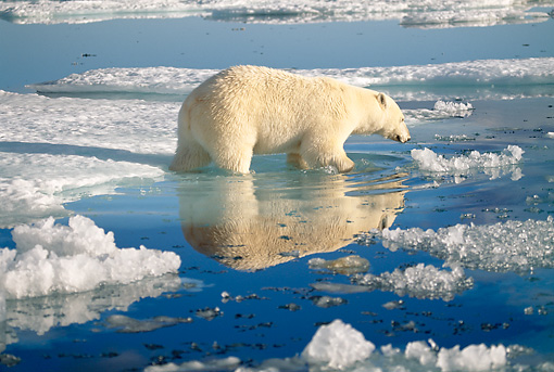BEA 06 KH0010 01 © Kimball Stock Polar Bear Wading In Ice Water Puddle