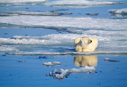 BEA 06 KH0011 01 © Kimball Stock Polar Bear Laying By Ice Water Puddle