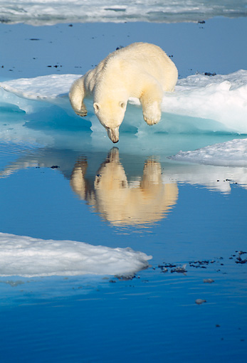 BEA 06 KH0012 01 © Kimball Stock Polar Bear Laying By Ice Water Puddle Looking In Water