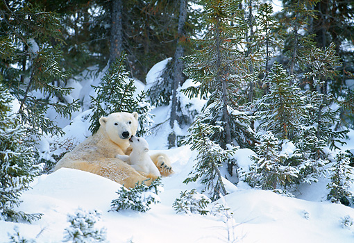 BEA 06 KH0013 01 © Kimball Stock Polar Bear Mother And Cub Laying On Snow In Forest