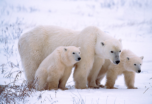 BEA 06 NE0001 01 © Kimball Stock Polar Bear Mother With Two Cubs Huddling On Snow Hudson Bay Canada