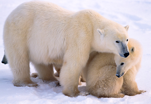 BEA 06 NE0002 01 © Kimball Stock Polar Bear Mother With Two Cubs Huddling On Snow Hudson Bay Canada