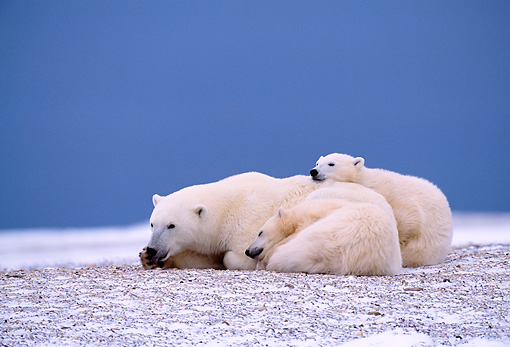 BEA 06 NE0003 01 © Kimball Stock Polar Bear Mother With Two Cubs Huddling On Snow Hudson Bay Canada