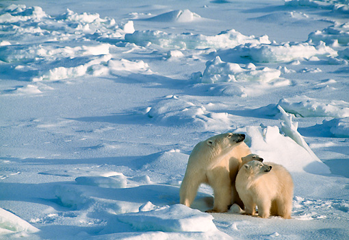 BEA 06 NE0004 01 © Kimball Stock Polar Bear Mother With Two Cubs Huddling On Snow Hudson Bay Canada