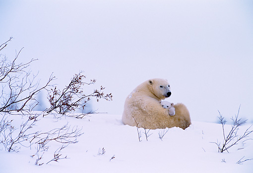 BEA 06 NE0007 01 © Kimball Stock Polar Bear Mother With Cub Huddling On Snow By Den Canada