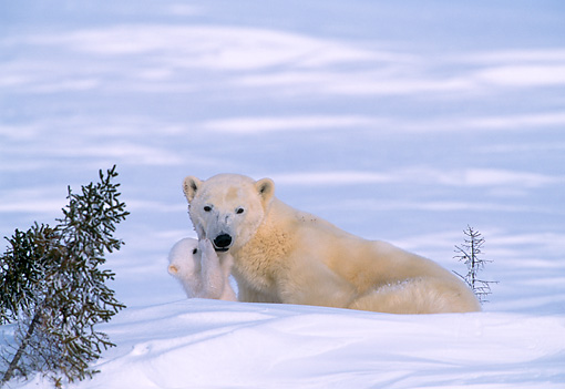 BEA 06 NE0008 01 © Kimball Stock Polar Bear Mother With Cub Huddling On Snow By Den Canada