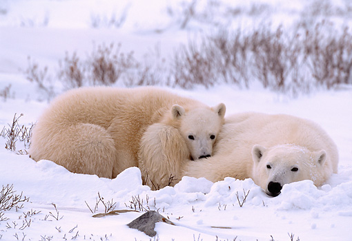 BEA 06 NE0009 01 © Kimball Stock Polar Bear Mother With Cub Huddling On Snow Canada