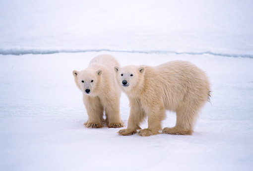 BEA 06 NE0010 01 © Kimball Stock Two Polar Bear Cubs Standing On Frozen Hudson Bay Canada