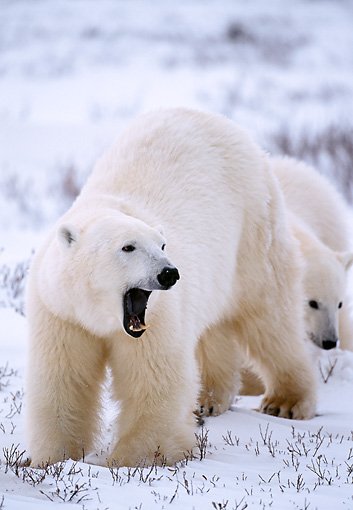 BEA 06 NE0011 01 © Kimball Stock Polar Bear Mother With Cub Standing On Snow Canada