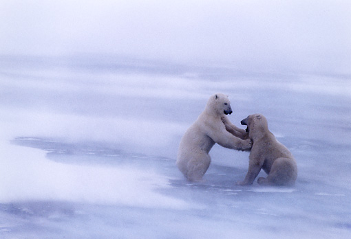 BEA 06 NE0013 01 © Kimball Stock Two Polar Bears Wrestling In Snowstorm On Frozen Hudson Bay Canada