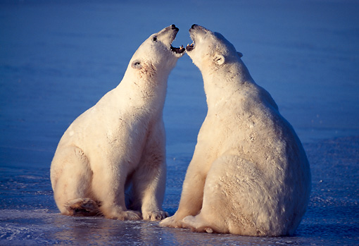 BEA 06 NE0014 01 © Kimball Stock Two Polar Bears Playing On Frozen Hudson Bay Canada