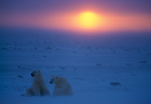 BEA 06 NE0015 01 © Kimball Stock Two Polar Bears Sitting On Frozen Hudson Bay Canada