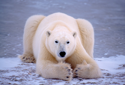 BEA 06 NE0019 01 © Kimball Stock Polar Bear Resting On Frozen Hudson Bay Canada