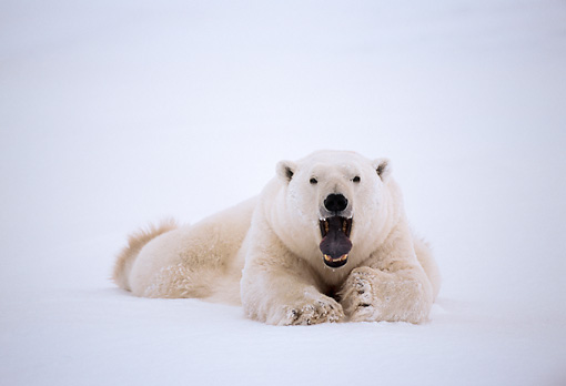 BEA 06 NE0020 01 © Kimball Stock Polar Bear Resting On Frozen Hudson Bay Canada