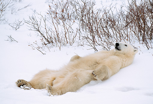BEA 06 NE0022 01 © Kimball Stock Polar Bear Resting On Snow Hudson Bay Canada