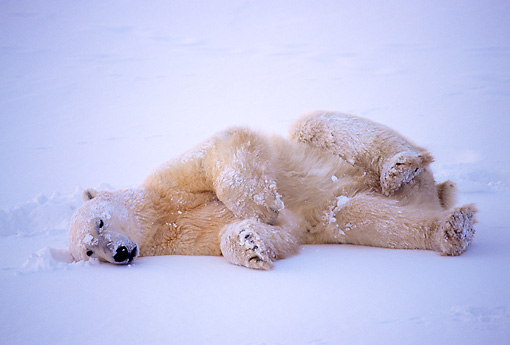 BEA 06 NE0023 01 © Kimball Stock Polar Bear Resting On Frozen Hudson Bay Canada