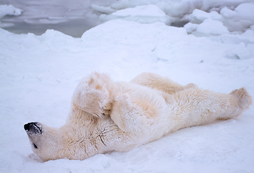 BEA 06 NE0024 01 © Kimball Stock Polar Bear Resting On Frozen Hudson Bay Canada