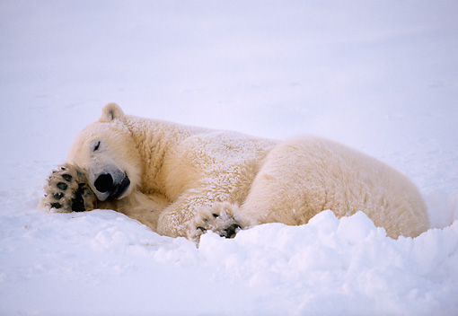 BEA 06 NE0025 01 © Kimball Stock Polar Bear Resting On Frozen Hudson Bay Canada