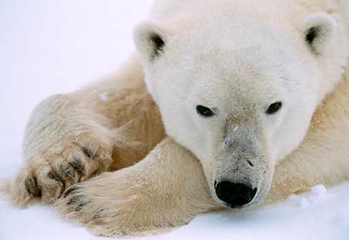 BEA 06 NE0026 01 © Kimball Stock Polar Bear Resting On Frozen Hudson Bay Canada