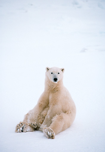 BEA 06 NE0027 01 © Kimball Stock Polar Bear Sitting On Frozen Hudson Bay Canada