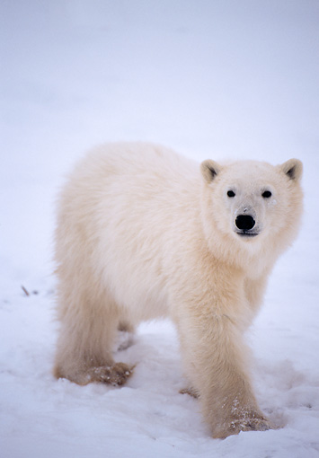 BEA 06 NE0029 01 © Kimball Stock Polar Bear Cub Standing On Frozen Hudson Bay Canada