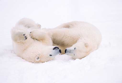 BEA 06 NE0030 01 © Kimball Stock Polar Bear Cubs Playing On Frozen Hudson Bay Canada
