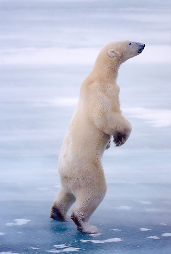 BEA 06 NE0031 01 © Kimball Stock Polar Bear Standing On Frozen Hudson Bay Canada