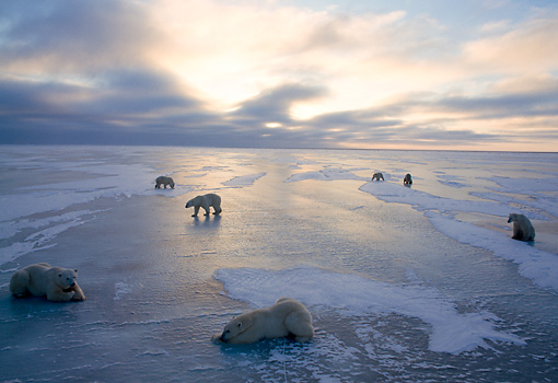 BEA 06 NE0032 01 © Kimball Stock Polar Bears Gathering On Frozen Hudson Bay Canada
