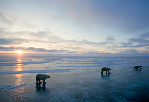 BEA 06 NE0033 01 © Kimball Stock Polar Bears Walking On Frozen Hudson Bay Canada