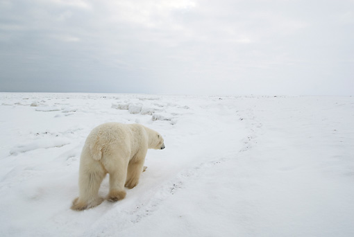 BEA 06 NE0043 01 © Kimball Stock Polar Bear Walking Away On Snow Canada