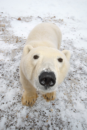 BEA 06 NE0046 01 © Kimball Stock Polar Bear Standing On Snow Looking At Camera Canada
