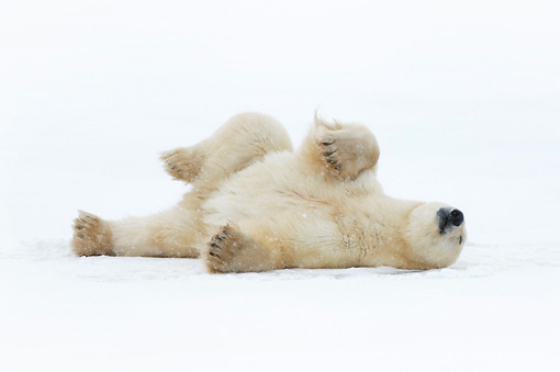 BEA 06 NE0049 01 © Kimball Stock Male Polar Bear Rolling On Back On Snow Canada