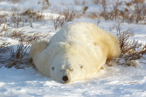 BEA 06 NE0052 01 © Kimball Stock Polar Bear Sleeping Flat On Stomach On Snow And Dry Grass Canada