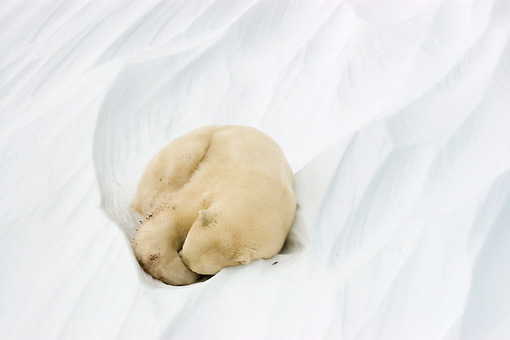 BEA 06 NE0053 01 © Kimball Stock Polar Bear Sleeping Curled Up On Snow Canada