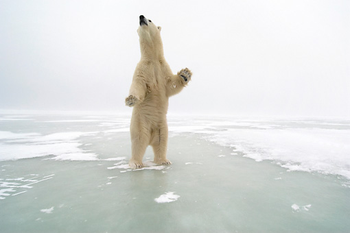 BEA 06 NE0054 01 © Kimball Stock Polar Bear Standing On Hind Legs On Ice Canada