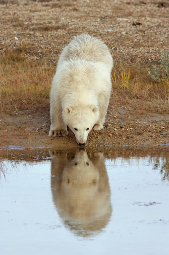 BEA 06 NE0062 01 © Kimball Stock Polar Bear Cub Drinking Water On Tundra Canada