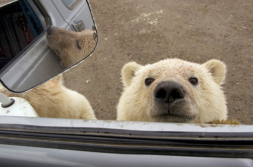 BEA 06 NE0063 01 © Kimball Stock Polar Bear Cub Peeking In Truck Window Canada