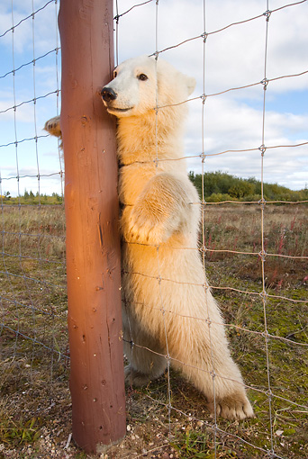 BEA 06 NE0064 01 © Kimball Stock Polar Bear Cub Standing Up Looking Through Wire Fence Canada