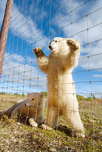 BEA 06 NE0065 01 © Kimball Stock Two Polar Bear Cubs Looking Through Wire Fence Canada