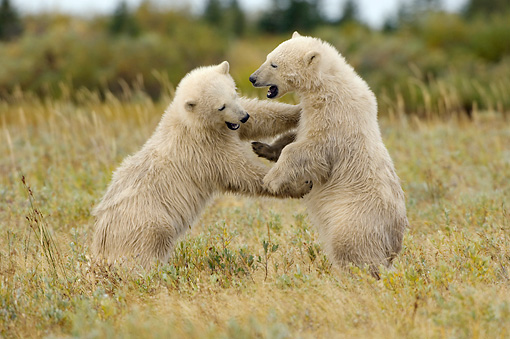 BEA 06 NE0066 01 © Kimball Stock Two Polar Bear Cubs Play Fighting On Tundra Canada