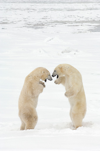 BEA 06 NE0069 01 © Kimball Stock Two Polar Bears Play Fighting On Snow Canada