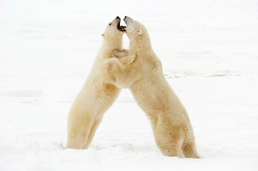 BEA 06 NE0072 01 © Kimball Stock Two Polar Bears Play Fighting On Snow Canada