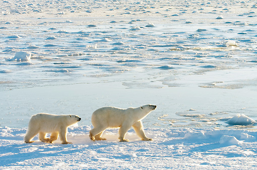 BEA 06 NE0078 01 © Kimball Stock Polar Bear Mother And Cub Walking On Snow And Ice Hudson Bay Canada