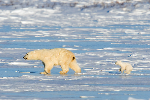 BEA 06 NE0079 01 © Kimball Stock Polar Bear Mother And Cub Walking On Snow And Ice Hudson Bay Canada