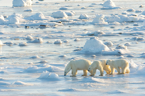 BEA 06 NE0080 01 © Kimball Stock Polar Bear Mother And Two Cubs Walking On Snow And Ice Hudson Bay Canada