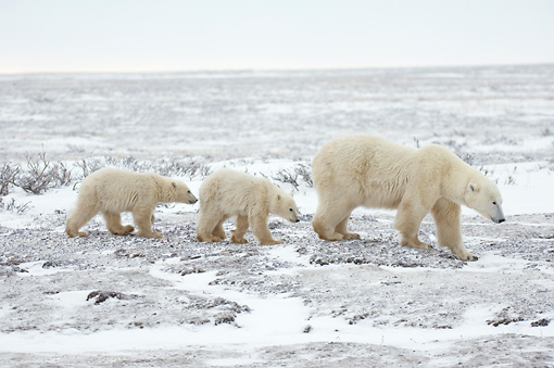 BEA 06 NE0081 01 © Kimball Stock Polar Bear Mother And Two Cubs Walking On Snowy Tundra Canada