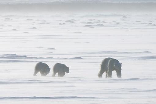 BEA 06 NE0083 01 © Kimball Stock Polar Bear Mother And Two Cubs Walking On Snow Canada