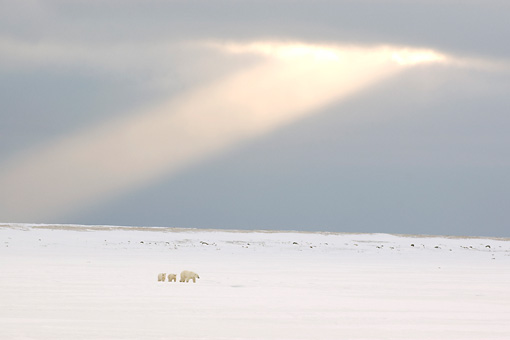 BEA 06 NE0084 01 © Kimball Stock Polar Bear Mother And Two Cubs Walking On Snowy Tundra In Distance Under Shaft Of Light Canada