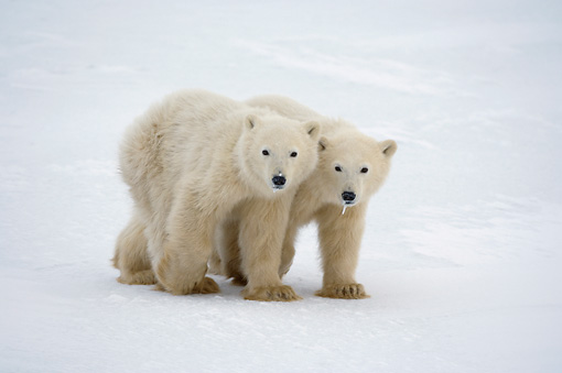 BEA 06 NE0088 01 © Kimball Stock Two Polar Bear Cubs Walking On Snow Canada