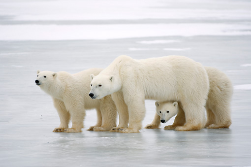 BEA 06 NE0090 01 © Kimball Stock Polar Bear Mother And Two Cubs Standing On Ice And Snow Canada